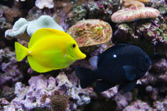 Underwater world with yellow tang Royalty Free Stock Photos