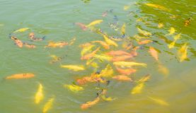 Underwater Yellow and Orange Fish - Aquatic background Stock Images
