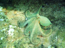Underwatershot Of A Wild Octopus. Taken in the Mediteranian sea in Greece Stock Images