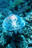 Underwaterworld / Turtle Royalty Free Stock Photo