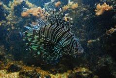 Underwather do Lionfish Imagens de Stock