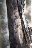 Undetermined gecko, reservations Tsingy, Ankarana, Madagascar Royalty Free Stock Photos