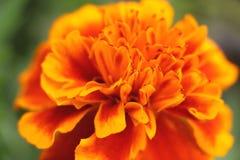 Undeutliche orange Ringelblumenzusammenfassung Stockbild