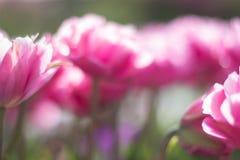 Undeutliche rosa Tulpen Stockfoto