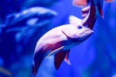 Undeutliches Foto von schwarzen Dörfchenfische Hypoplectrus-nigricans in einem Seeaquarium stockfotografie