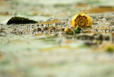 Undeveloped yellow water lily in the river.Horizontal. Stock Photos