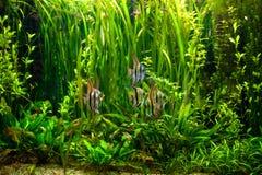 Undewater绿藻类、水生植物和鱼 免版税图库摄影