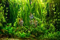 Undewater green alga, aquatic plants and fishes Royalty Free Stock Photography
