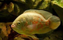 Undewwater生活,黄色水族馆鱼 图库摄影