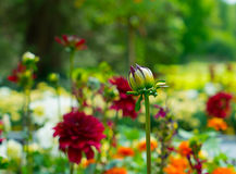 Undiluted bud of red chrysanthemum on a blurred background. Stock Images