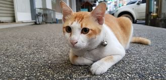 Undra den orange och vita katten lägger ner på gatan och att stirra något royaltyfri bild