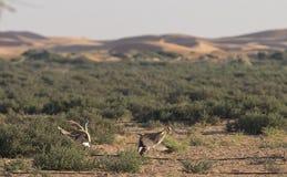 Undulata de los chlamydotis de la avutarda de Houbara en un desierto cerca de Dubai Imágenes de archivo libres de regalías