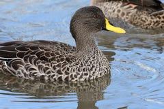 Undulata faturado amarelo dos Anas do pato Fotografia de Stock Royalty Free