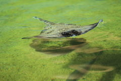 Undulate ray. Floating in water Royalty Free Stock Photos