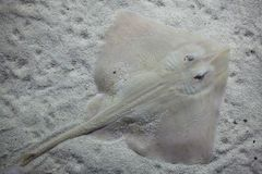 Undulate ray Raja undulata. Mediterranean fish stock photos