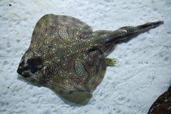 Undulate ray (Raja undulata). Wild life animal Stock Photos