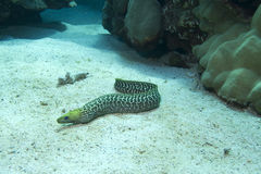 Undulated Moray Eel Royalty Free Stock Photography