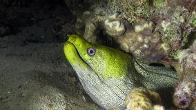Undulated moray Gymnothorax undulatus muray with green face in the night. stock footage