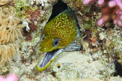 Undulated moray Stock Photo