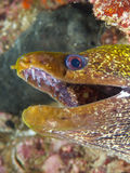 Undulated moray Royalty Free Stock Image