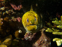 Undulated moray Royalty Free Stock Photo