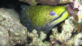 Undulated moray in Red sea stock video