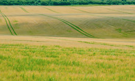 Undulating corn field 2. Undulating corn/ farmers field in midday summer light Stock Photos