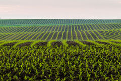 The undulating corn fields in the midwest Royalty Free Stock Image
