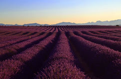 Undulating Purple Lavender Field Royalty Free Stock Image