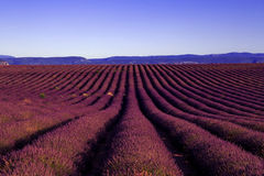 Undulating Purple Lavender Field Stock Photography