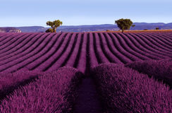 Undulating Purple Lavender Field Royalty Free Stock Photography