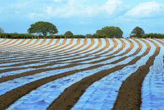 Undulating stripes. Strips of plastic mulch following the undulating contours of a field Stock Images