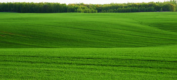 Undulating wheat field Royalty Free Stock Photos