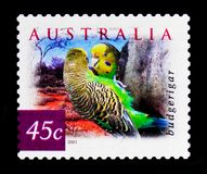 UndulatMelopsittacusundulatusen, natur av Australien - desertera fågelserie, circa 2001 Royaltyfri Foto