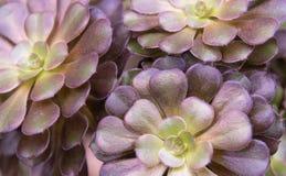 Undulatum Aeonium επάνω στενό στοκ φωτογραφία με δικαίωμα ελεύθερης χρήσης
