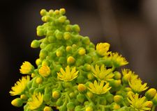 Undulatum d'Aeonium commençant à fleurir Photo libre de droits