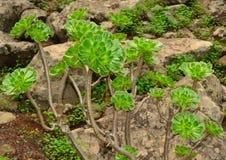 Undulatum selvaggio di aeonium del cespuglio con molte rosette Fotografie Stock