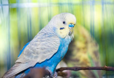 Undulatus bleu de Melopsittacus de perruche Photographie stock libre de droits