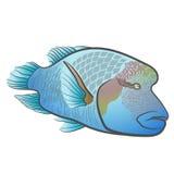 Undulatus Cheilinus Красное Море napoleon рыб Wrasse Humphead Стоковое фото RF
