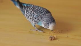 Undulatus del Melopsittacus di pappagallino ondulato che mangia cereale video d archivio
