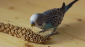 Undulatus del Melopsittacus di pappagallino ondulato che mangia un orecchio secco stock footage