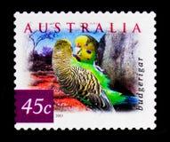 Undulatus del Melopsittacus di pappagallino ondulato, natura dell'Australia - abbandoni il serie degli uccelli, circa 2001 Fotografia Stock Libera da Diritti