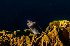 Undulatus lycodontis Mooray χελιών Moray στη Ερυθρά Θάλασσα, στοκ εικόνες με δικαίωμα ελεύθερης χρήσης
