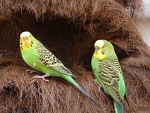 Undulatus Melopsittacus - волнистый попугайчик или budgies гнездясь совместно стоковое изображение rf