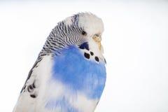 Undulatus Melopsittacus волнистого попугайчика Стоковые Фото