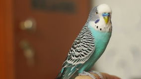 Undulatuszitting van grasparkiet blauwe Melopsittacus stock video