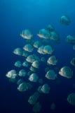 Une école de batfish circulaire (orbicularis de Platax) Images stock