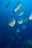 Une école de batfish circulaire (orbicularis de Platax) Photos stock