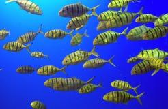 Une école des poissons jaunes Photo stock