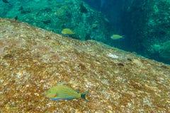 Une école des poissons jaunes Images stock